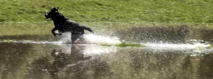 Wet Labrador