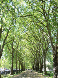 Plane trees in Middle Temple Gardens