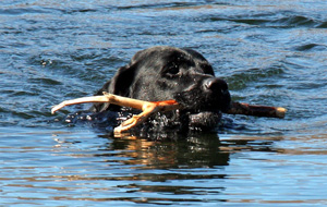 Saxon swims with stick