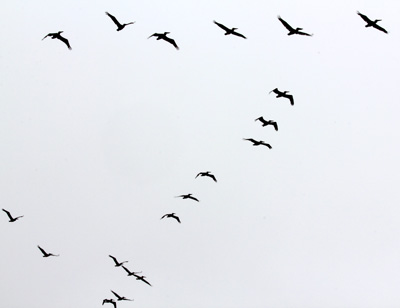 A formation of Pelicans at Point Reyes